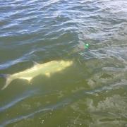 tarpon fishing charter