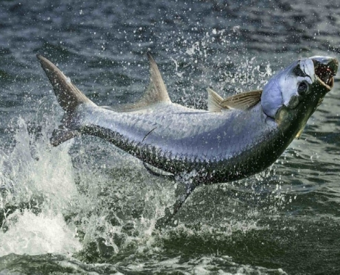 Tips for Catching Tarpon